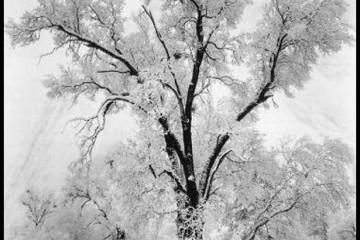 adams_oak_tree_snowstorm.jpg